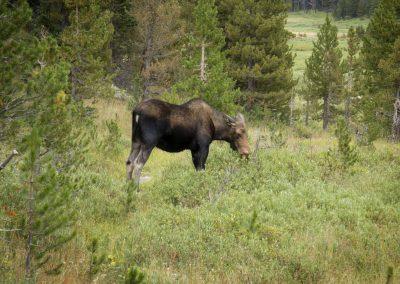 6764-moose